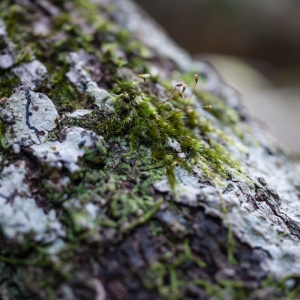 Lichen, Killen Falls Nature Reserve