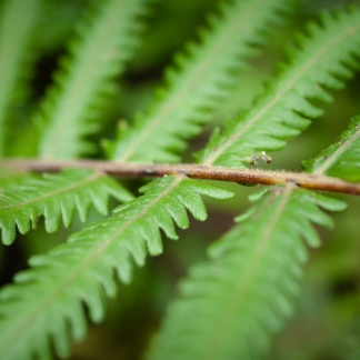 Fern, Killen Falls Nature Reserve