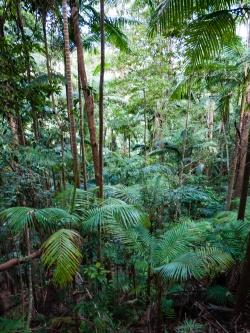 Canopy of Palms along the Minyon Loop Walking Track, Nightcap National Park