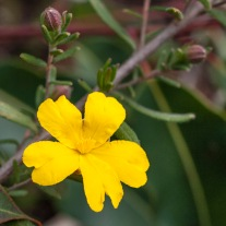 Hibbertia, Mount Cooke, Monadnocks Conservation Park