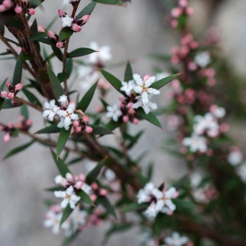 Wildflowers, Mount Cooke, Monadnocks Conservation Park