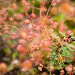Drosera, Mount Cooke, Monadnocks Conservation Park