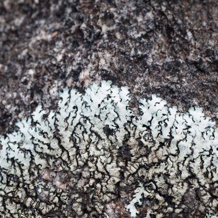Lichen on granite, Mount Cooke, Monadnocks Conservation Park