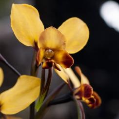 Orchid, Mount Cooke, Monadnocks Conservation Park
