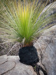 Grass tree growing in the most unlikely of locations, Mount Cooke, Monadnocks Conservation Park