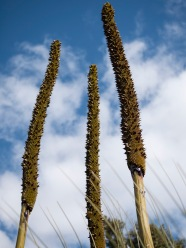 Grass tree flower stems, Mount Cooke, Monadnocks Conservation Park