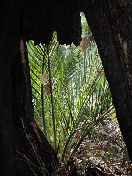 Zamias, Mount Cooke, Monadnocks Conservation Park