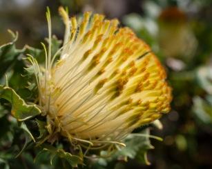 Dryandra, Mount Cooke, Monadnocks Conservation Park