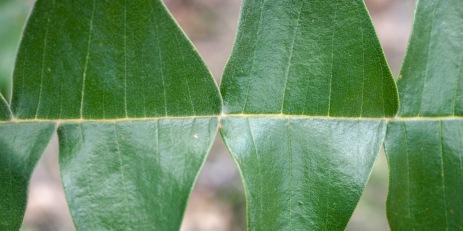 Serrated leaves, Mount Cooke, Monadnocks Conservation Park