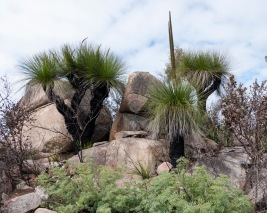 Clump of grass trees, Mount Cooke, Monadnocks Conservation Park