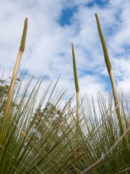 Grass tree flowers, Mount Cooke, Monadnocks Conservation Park